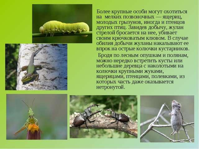 Более крупные особи могут охотиться на мелких позвоночных — ящериц, молодых...
