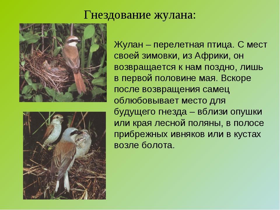 Гнездование жулана: Жулан – перелетная птица. С мест своей зимовки, из Африки...