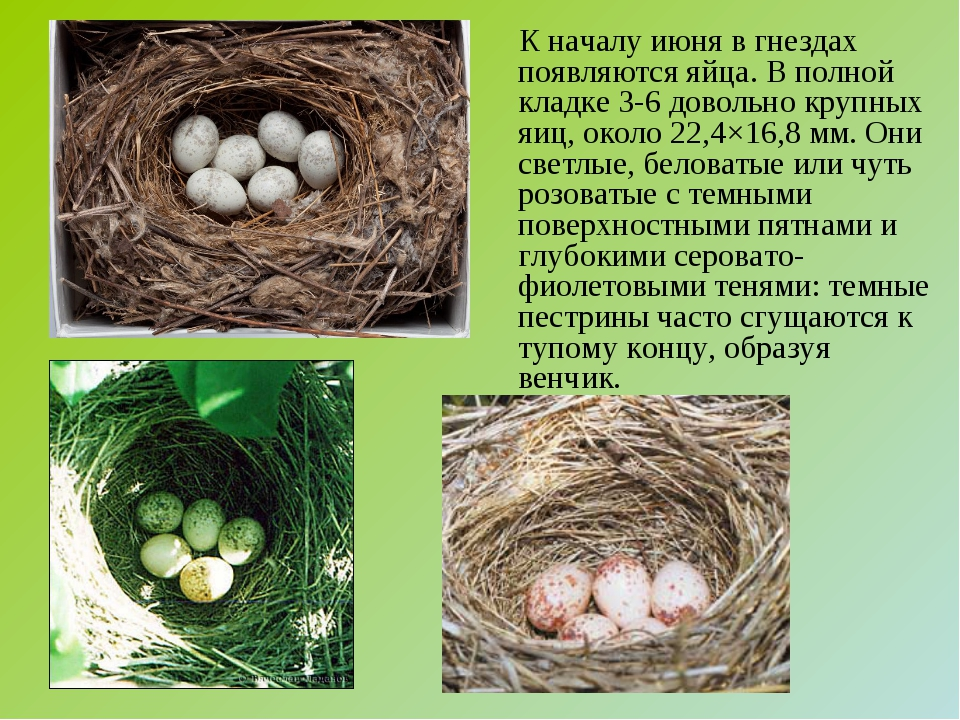 К началу июня в гнездах появляются яйца. В полной кладке 3-6 довольно крупны...