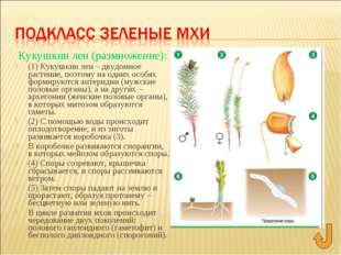 Кукушкин лен (размножение): (1) Кукушкин лен – двудомное растение, поэтому на