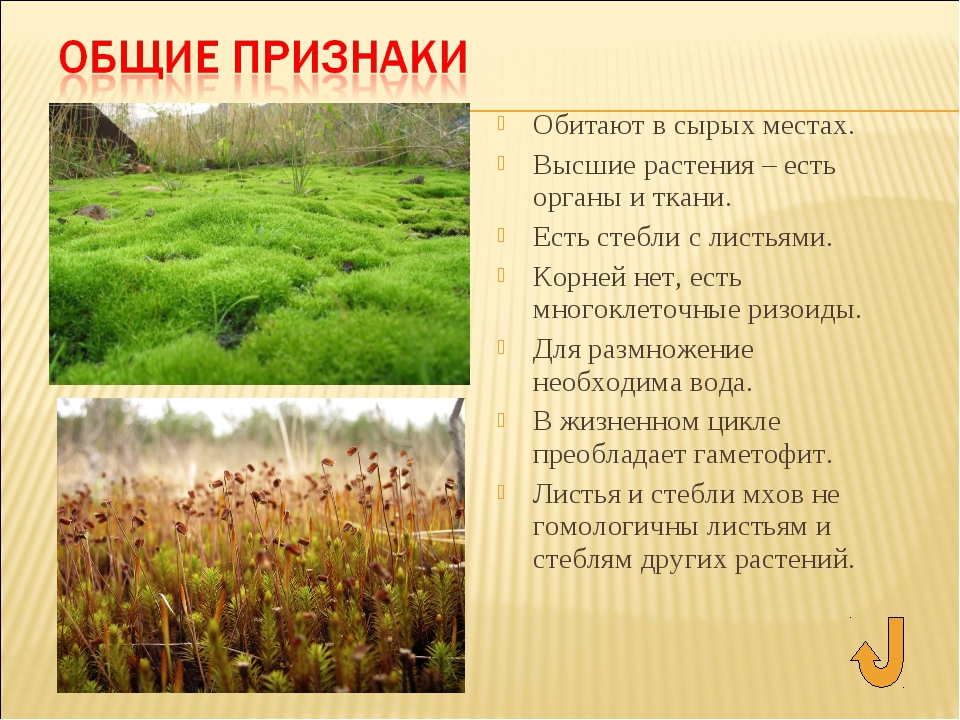 Обитают в сырых местах. Высшие растения – есть органы и ткани. Есть стебли с...