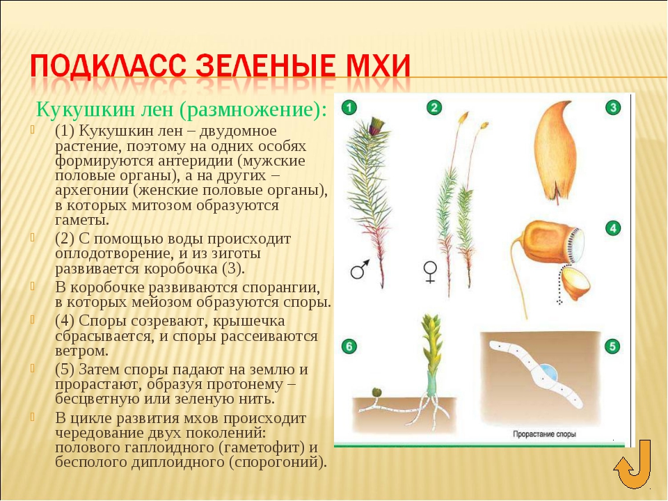 Кукушкин лен (размножение): (1) Кукушкин лен – двудомное растение, поэтому на...