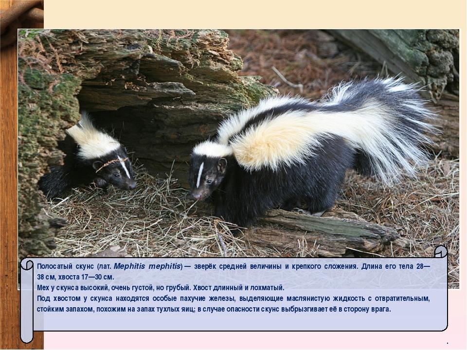 Полосатый скунс (лат.Mephitis mephitis)— зверёк средней величины и крепкого...