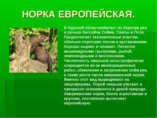 НОРКА ЕВРОПЕЙСКАЯ. В Курской областиобитает по берегам рек и ручьев бассейна