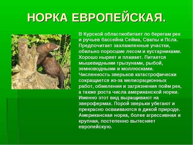 НОРКА ЕВРОПЕЙСКАЯ. В Курской областиобитает по берегам рек и ручьев бассейна...