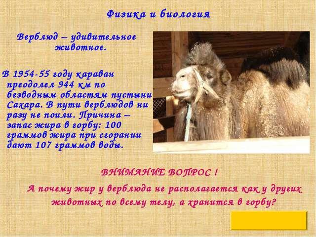 Физика и биология Верблюд – удивительное животное. В 1954-55 году караван пре...