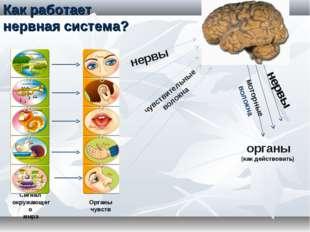 Сигнал окружающего мира Органы чувств нервы чувствительные волокна органы (ка