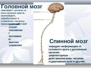 Головной мозг осознаёт узнаёт запоминает вспоминает мыслит управляет Спинной