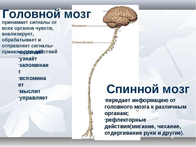 Головной мозг осознаёт узнаёт запоминает вспоминает мыслит управляет Спинной...