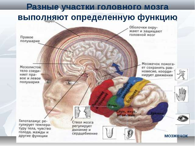 Разные участки головного мозга выполняют определенную функцию мозжечок