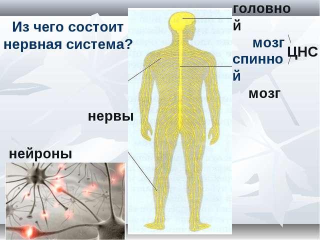 головной мозг спинной мозг нервы Из чего состоит нервная система? нейроны ЦНС