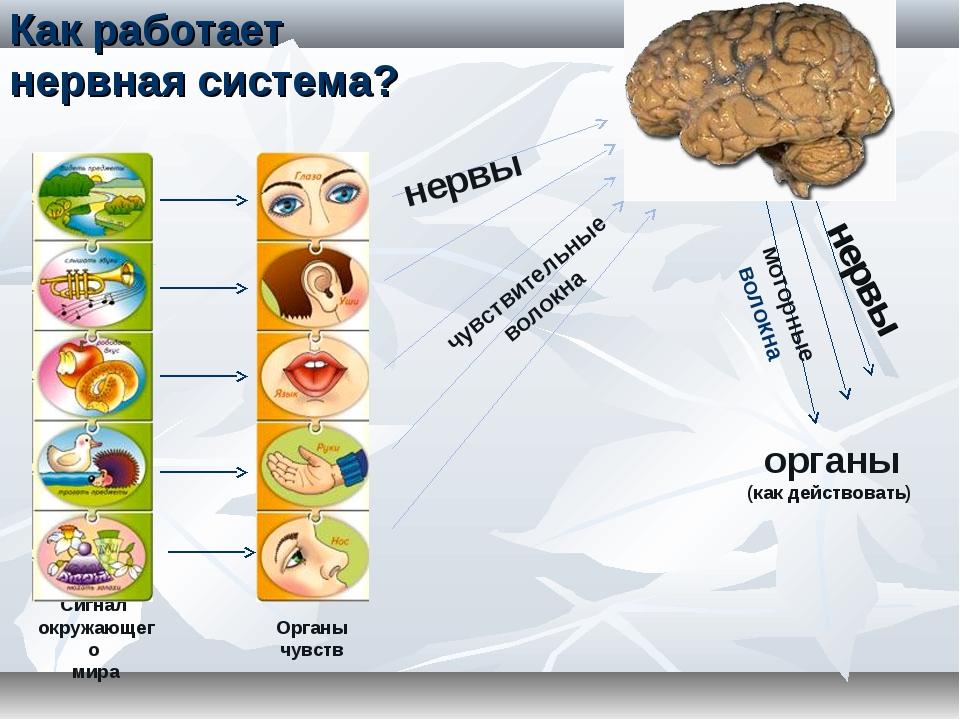 Сигнал окружающего мира Органы чувств нервы чувствительные волокна органы (ка...