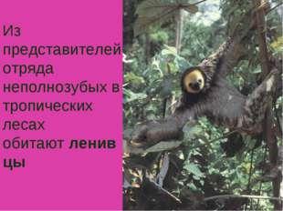 Из представителей отряда неполнозубых в тропических лесах обитаютленивцы