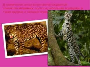 В тропических лесах встречаются хищники из семействакошачьих: оцелоты, небол