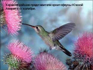 Характернейшие представители орнитофауны Южной Америки — колибри.