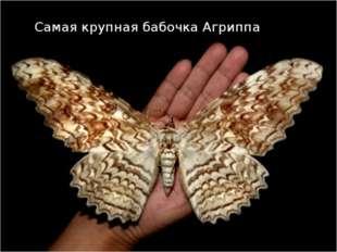 Самая крупная бабочка Агриппа