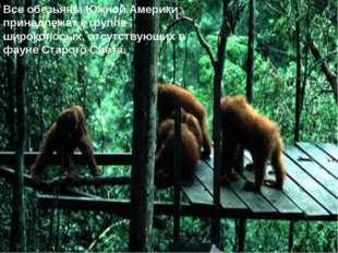 Все обезьяны Южной Америки принадлежат к группе широконосых, отсутствующих в