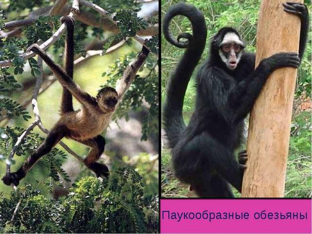 Паукообразные обезьяны