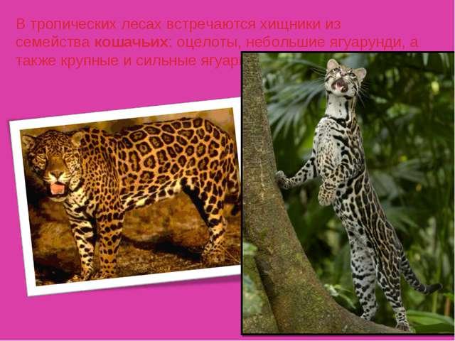 В тропических лесах встречаются хищники из семействакошачьих: оцелоты, небол...