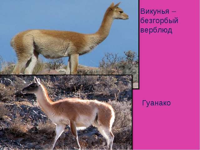 Викунья – безгорбый верблюд Гуанако