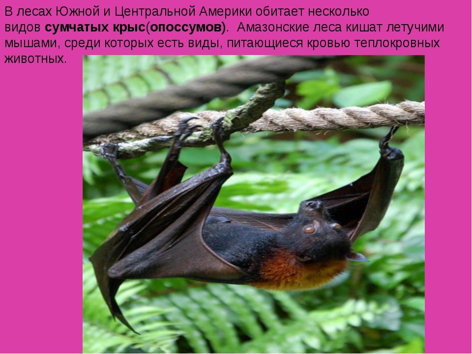 В лесах Южной и Центральной Америки обитает несколько видовсумчатых крыс(опо...