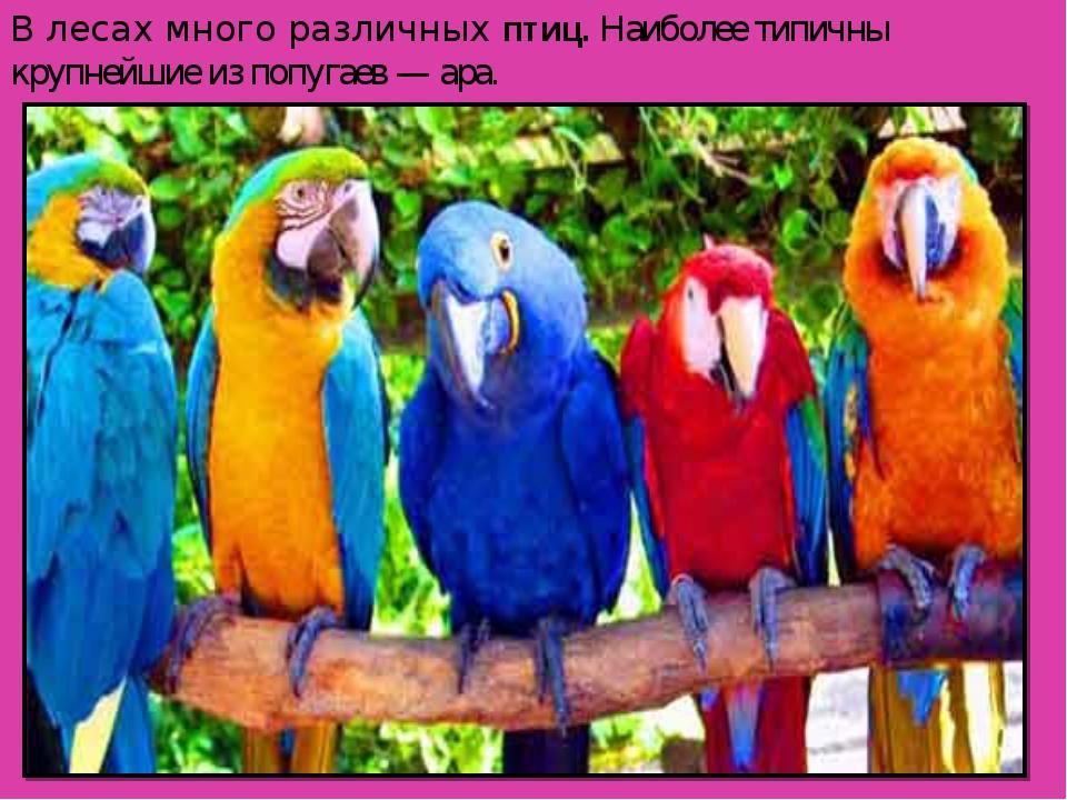В лесах много различныхптиц. Наиболее типичны крупнейшие из попугаев — ара.