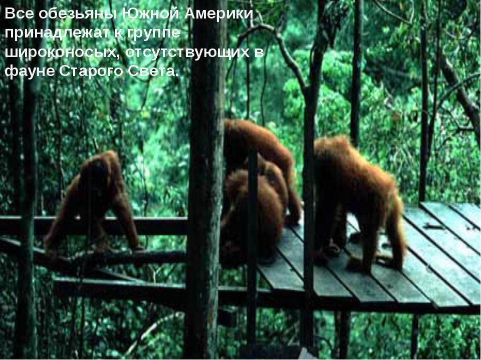 Все обезьяны Южной Америки принадлежат к группе широконосых, отсутствующих в...