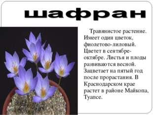 Травянистое растение. Имеет один цветок, фиолетово-лиловый. Цветет в сентябр