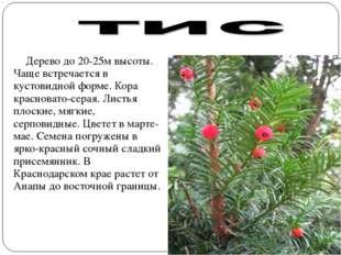 Дерево до 20-25м высоты. Чаще встречается в кустовидной форме. Кора краснова
