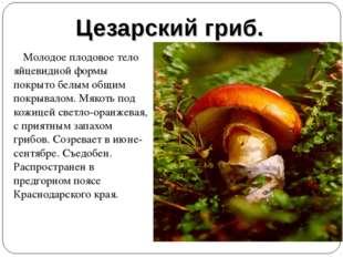 Цезарский гриб. Молодое плодовое тело яйцевидной формы покрыто белым общим по