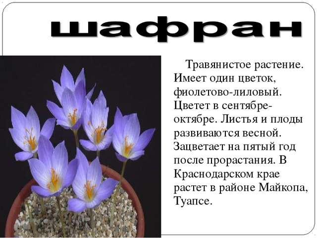 Травянистое растение. Имеет один цветок, фиолетово-лиловый. Цветет в сентябр...
