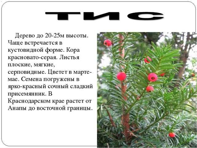 Дерево до 20-25м высоты. Чаще встречается в кустовидной форме. Кора краснова...