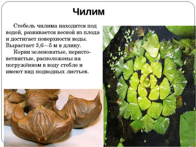 Стебель чилима находится под водой, развивается весной из плода и достигает п...