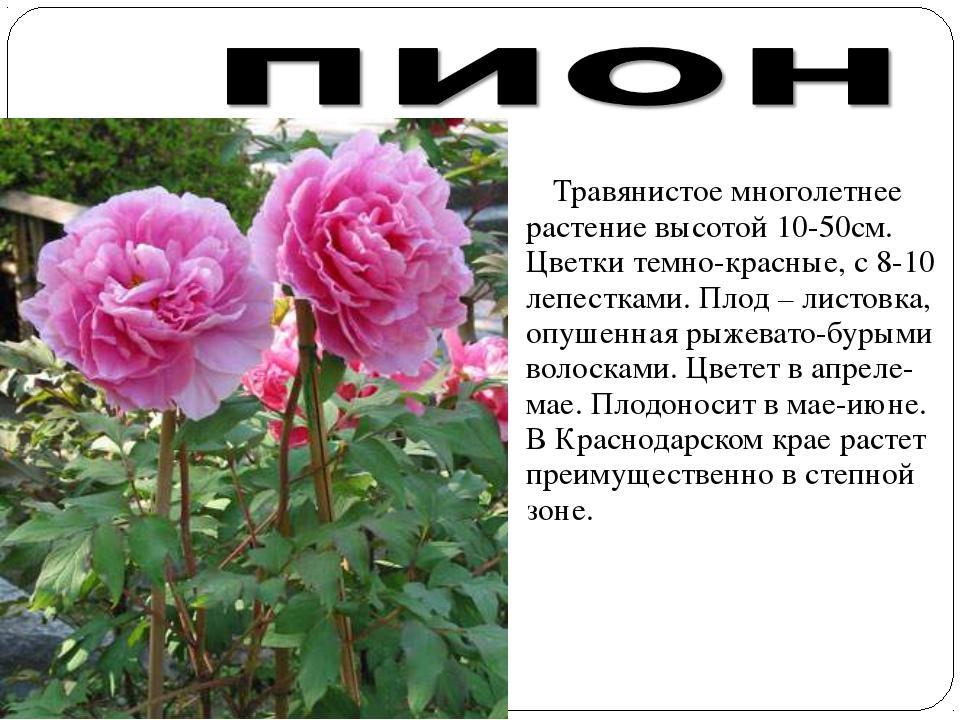 Травянистое многолетнее растение высотой 10-50см. Цветки темно-красные, с 8-...