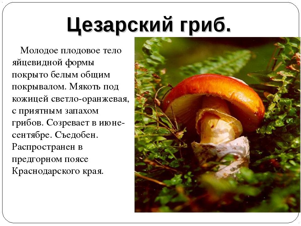 Цезарский гриб. Молодое плодовое тело яйцевидной формы покрыто белым общим по...