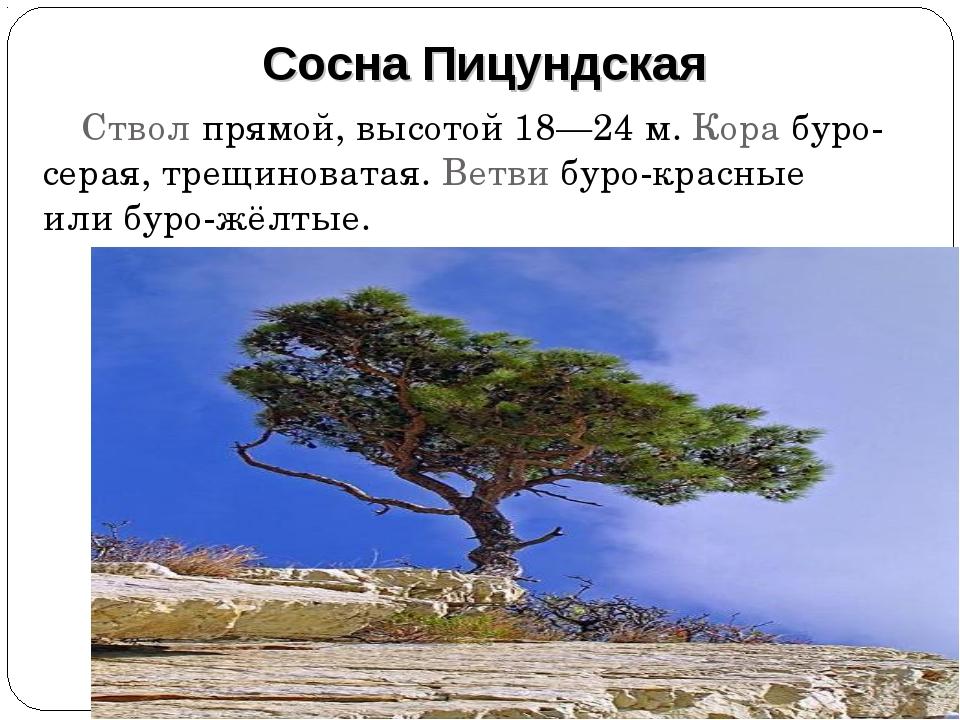 Ствол прямой, высотой 18—24 м. Кора буро-серая, трещиноватая. Ветви буро-крас...