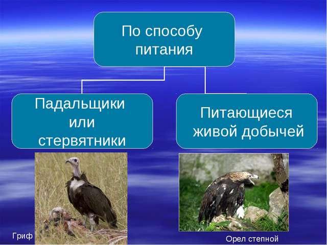 Гриф Орел степной