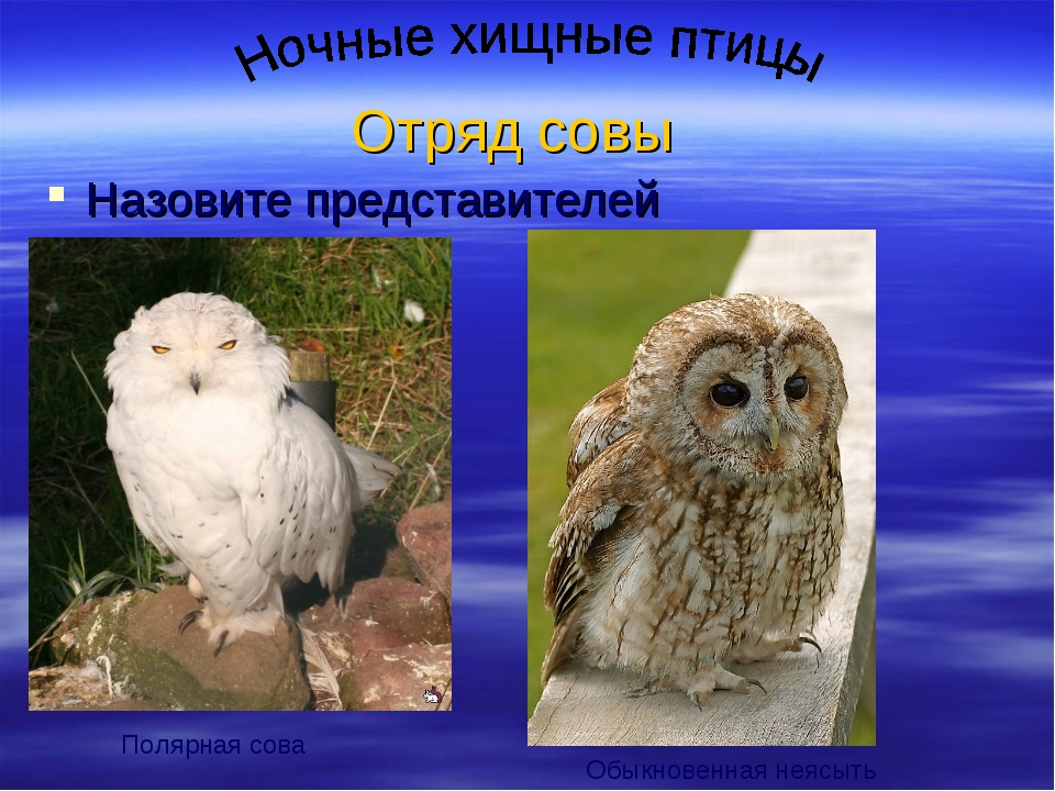 Отряд совы Назовите представителей Полярная сова Обыкновенная неясыть