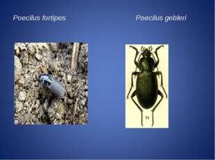Poecilus fortipes Poecilus gebleri
