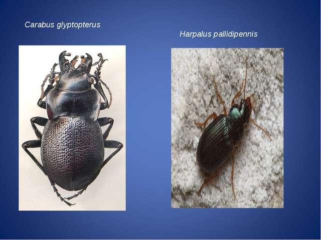 Carabus glyptopterus Harpalus pallidipennis
