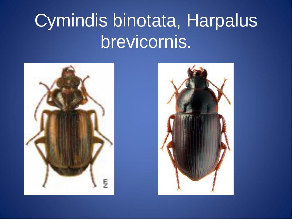 Суmindis binotata, Harpalus brevicornis.