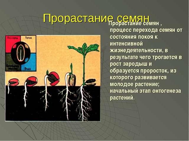 Прорастание семян Прорастание семян , процесс перехода семян от состояния по...