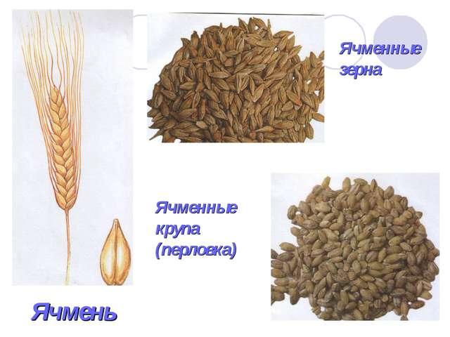 Ячмень Ячменные зерна Ячменные крупа (перловка)