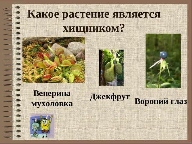 Какое растение является хищником? Венерина мухоловка Вороний глаз Джекфрут