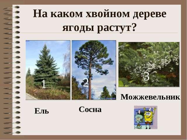 На каком хвойном дереве ягоды растут? 1 2 3 Ель Сосна Можжевельник
