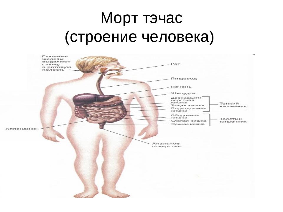 Морт тэчас (строение человека)