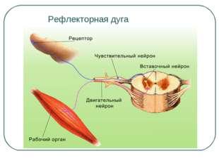 Рефлекторная дуга