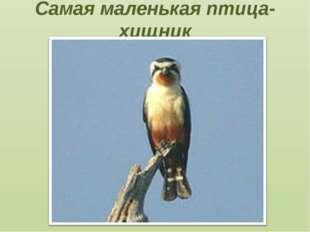 Самая маленькая птица-хищник