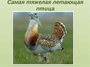 Самая тяжелая летающая птица