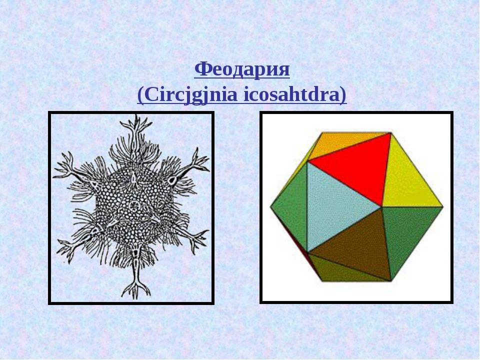 Феодария (Circjgjnia icosahtdra)
